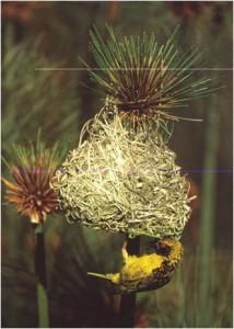 Weaver Bird 2